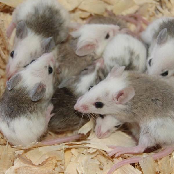 large african soft fur rats for sale   frozen soft