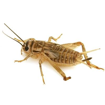 how to pack crickets live