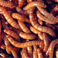 mealworms-regular