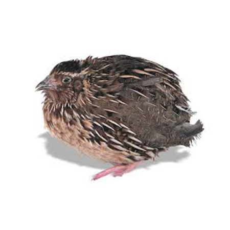 Retired Breeder Quail 10 per bag