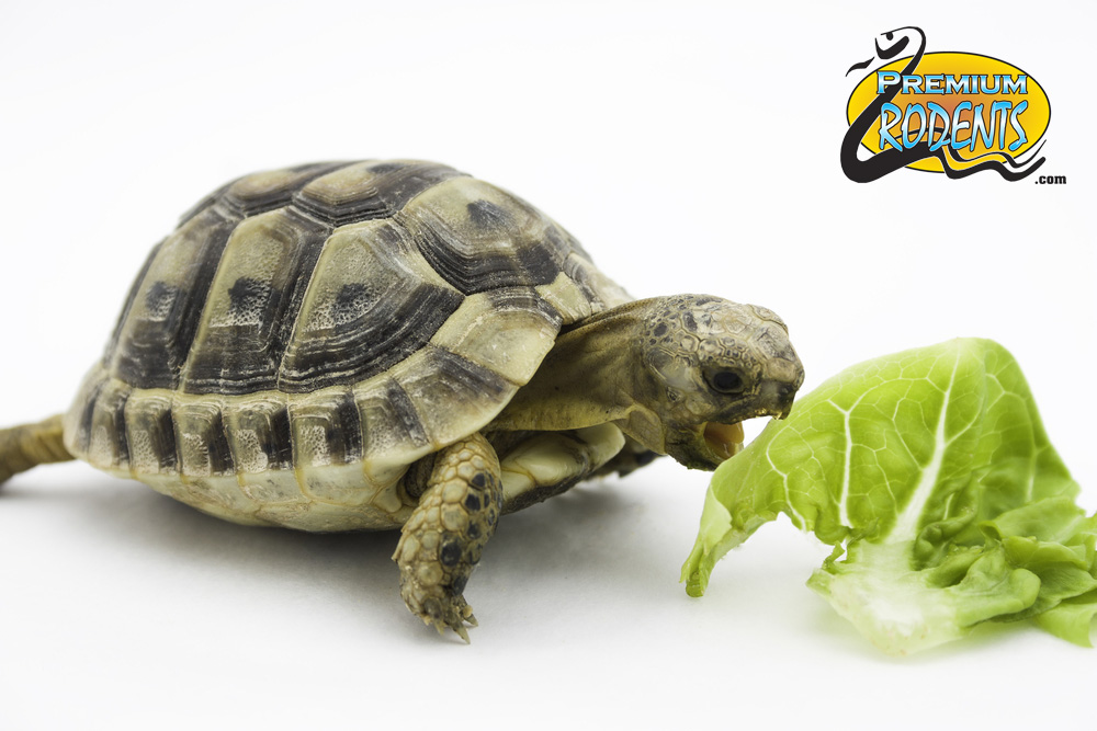 Taking Care of Your Baby Turtle - Turtles for sale 2
