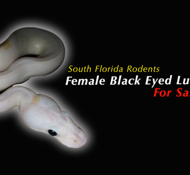 South Florida Rodents Snakes for Sale 1