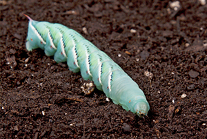 South Florida Hornworms