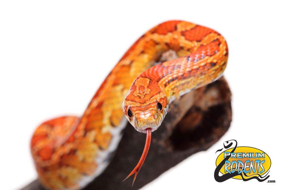 Corn Snake Food For_Sale