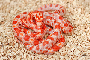 South Florida Rodents Corn Snake Food For Sale