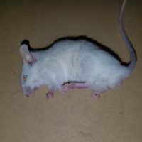 South Florida Rodents | Free Shipping | Frozen Mice & More