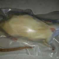 Frozen Mice For Sale