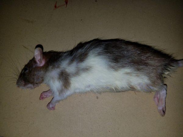 Frozen Rats For Sale