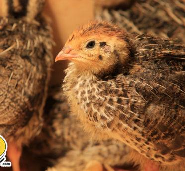 frozen quail for sale