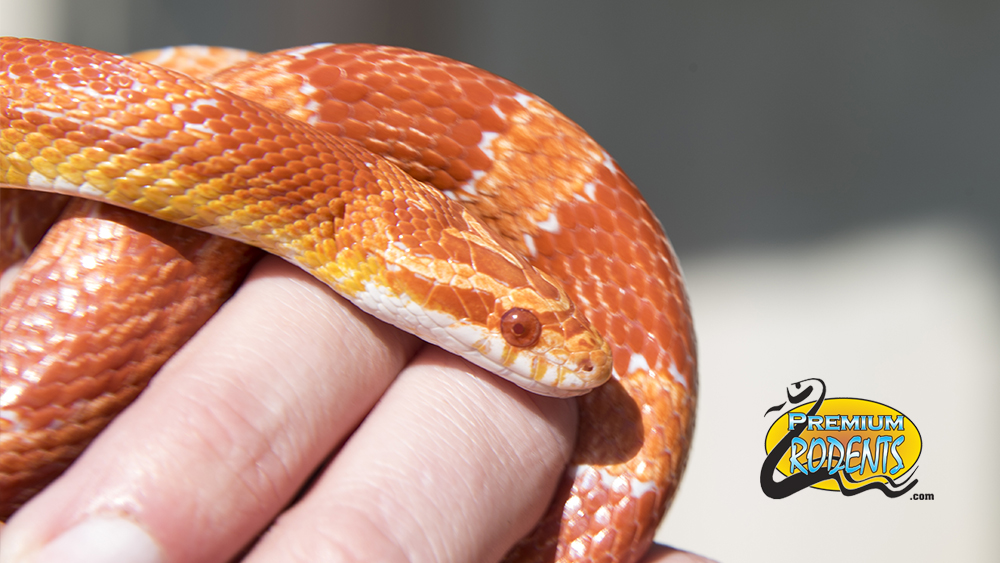 corn snake diet
