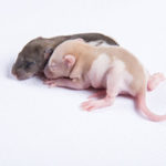 South Florida Rodents Frozen Pinky Mice for Sale